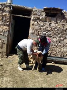 واکسیناسیون 31 هزار راس دام سبک در کوهدشت + تصاویر